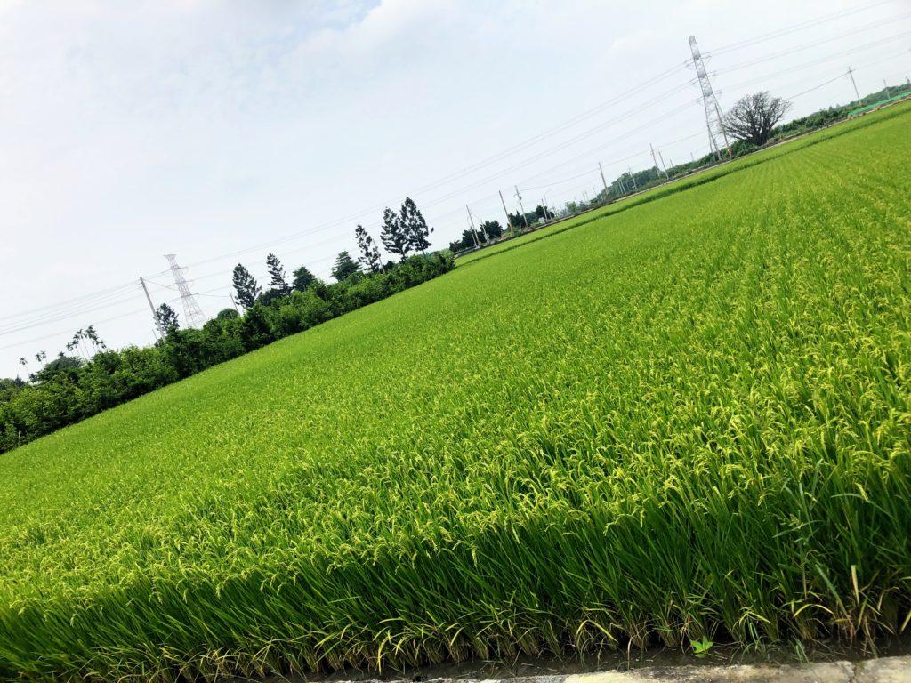 彰化の田んぼ